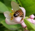 A Bee entering the Sour Orange blossom