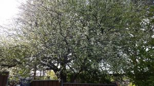 Crab Apple Tree in full blossom