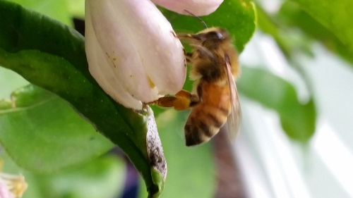 Honey Bee with visible Pollen Basket on a Sour Orange Blossom
