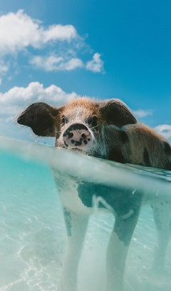 A pig swimming in the sea with a blue sky and white fluffy clouds