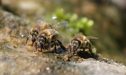 How do bees survive in extreme heat?